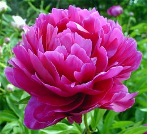 http://weblogs.dailypress.com/features/gardening/diggin-in/2010/10/herbaceous_peonies_best_plante_1.html